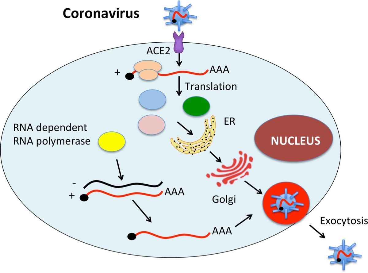 Coronavirus visual description